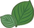 Zitronenbasilikum