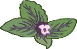 Basilikumblueten